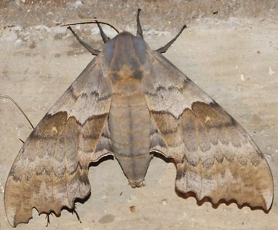 Sphinx - Pachysphinx occidentalis