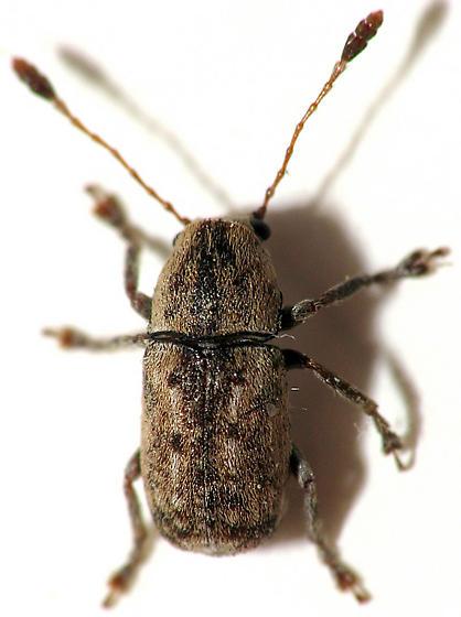 Cute Weevil - Piesocorynus lateralis