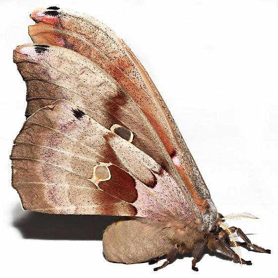 Antheraea polyphemus  - Antheraea polyphemus - female