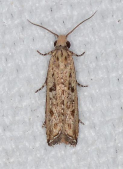 Bactra verutana - Javelin Moth  - Bactra verutana