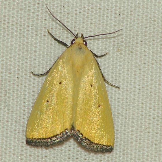 9044 Black-bordered Lemon Moth - Marimatha nigrofimbria