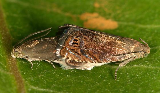 mating tortricids - Cydia nigricana - male - female