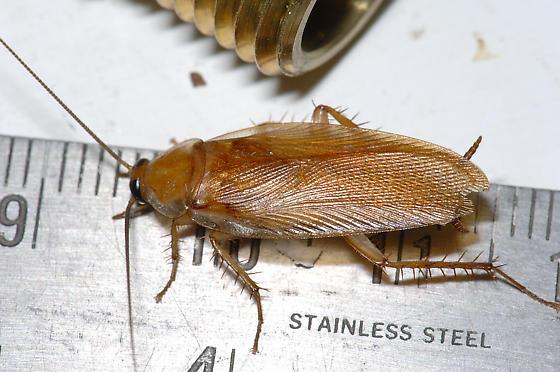 La Cucaracha! - Parcoblatta