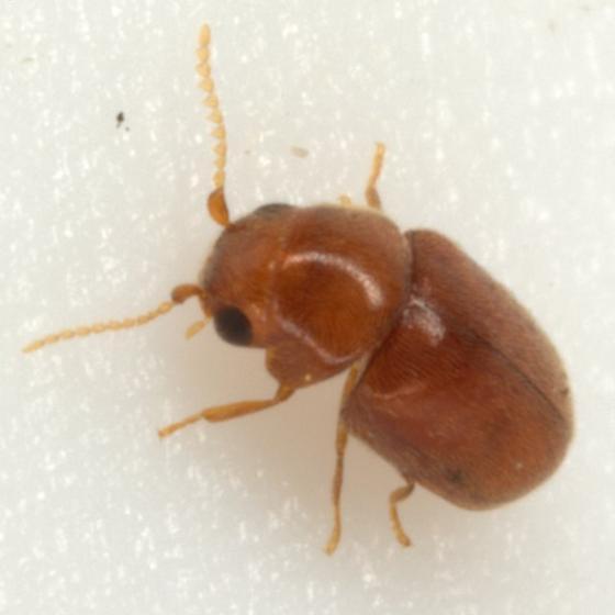 Lasioderma hemiptychoides Fall - Lasioderma hemiptychoides