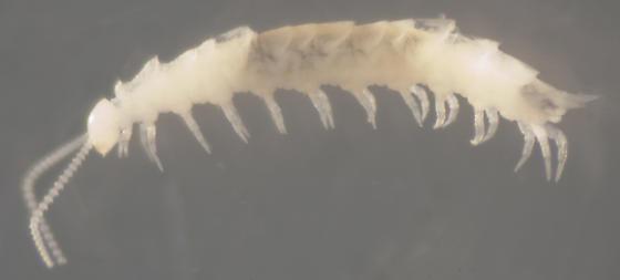 Unknown Arthropod