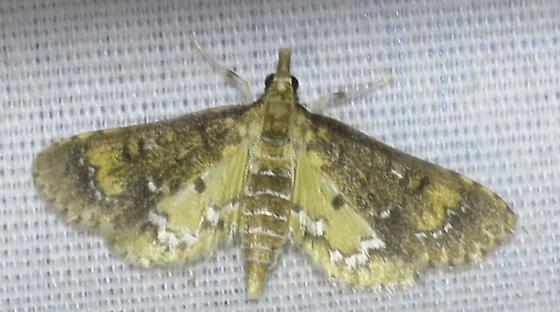 Waterhyacinth moth  Nipograpta albiguttalis   - Niphograpta albiguttalis