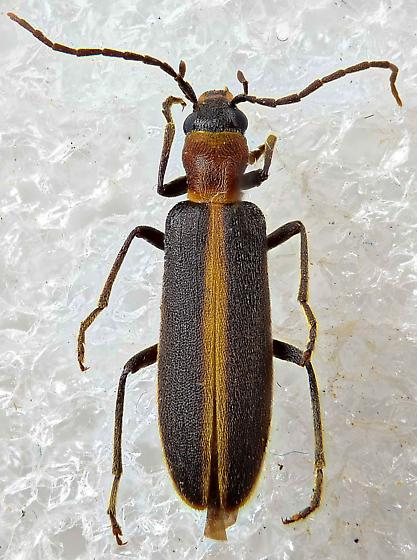 false blister beetle - Oxycopis mimetica