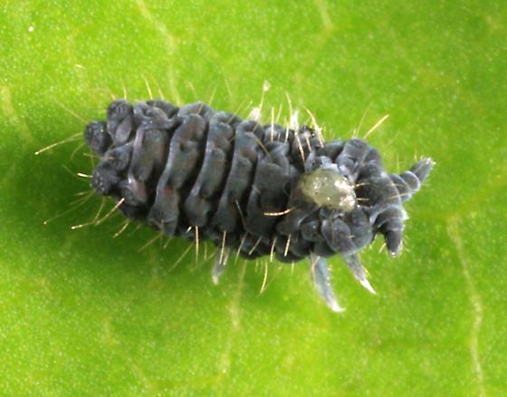 springtail - Neanura muscorum