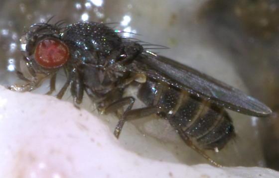 Red eyed fly on tree sap - Drosophila