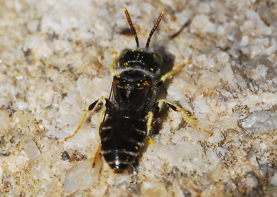 Small bee searches for mate - Calliopsis rhodophila - male