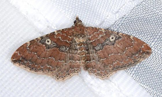 Orthonama obstipata - The Gem - Orthonama obstipata - female