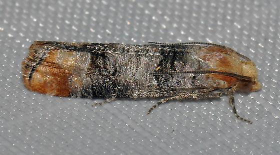 Pine tip moth - Rhyacionia zozana - Rhyacionia
