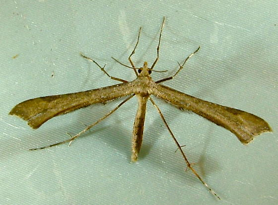 Platyptilia williamsii 6112 - Platyptilia williamsii