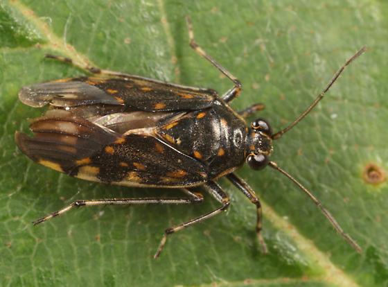 shore bug - Pentacora ligata