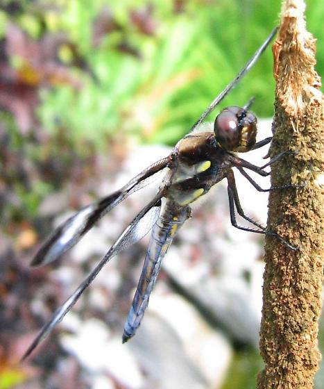 Black and white dragonfly - Libellula pulchella - male