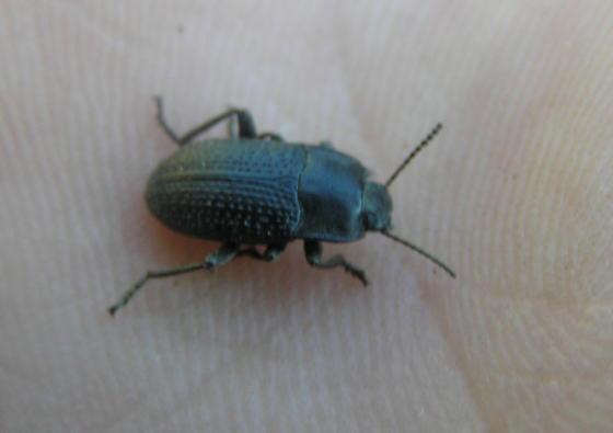 beetle - Alaetrinus minimus