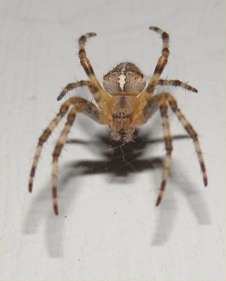 Spidy - Araneus