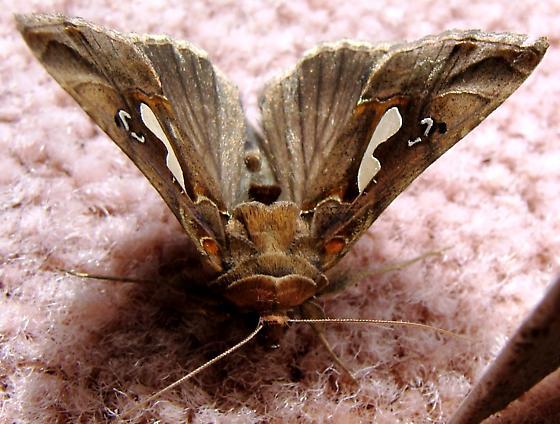 Owlet Moth - Bilobed Looper - Megalographa biloba
