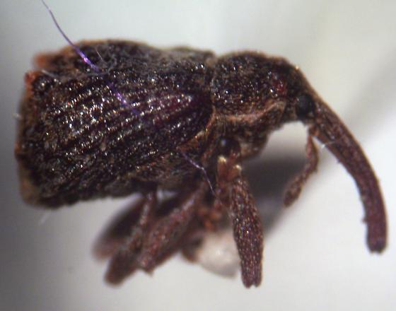 another weevil - Anthonomus quadrigibbus