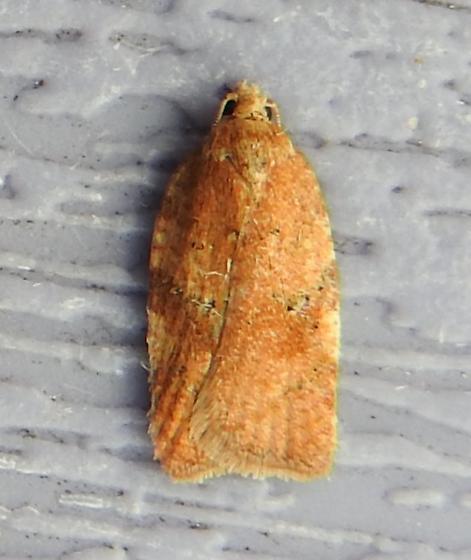 Acleris stadiana - Hodges#3521.1 - Acleris stadiana - female