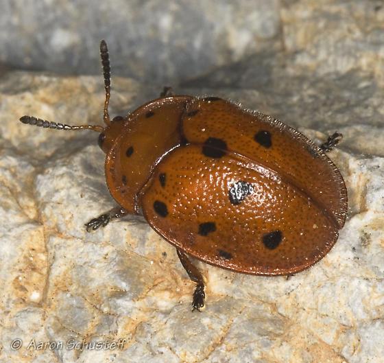Red tortoise beetle - Chelymorpha phytophagica