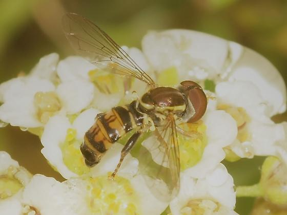 Syrphidae? 5c - Toxomerus occidentalis