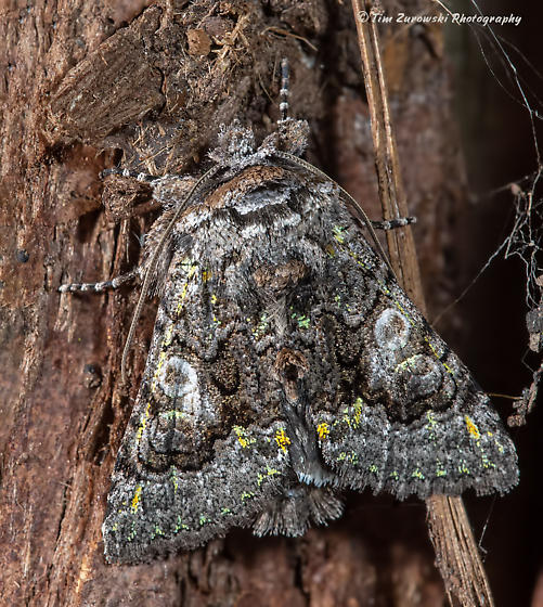 Unknown Moth - Behrensia conchiformis
