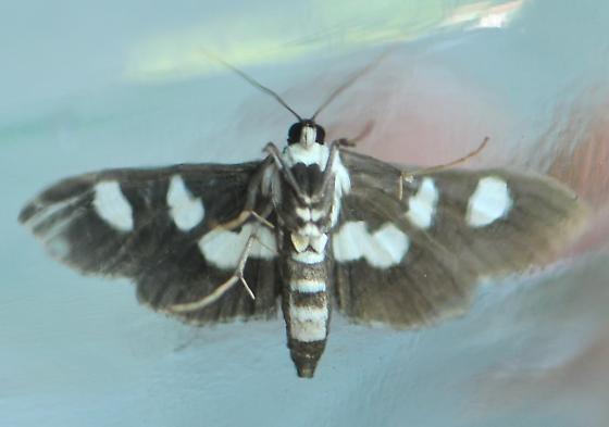 Grape Leafroller Moth - Desmia maculalis