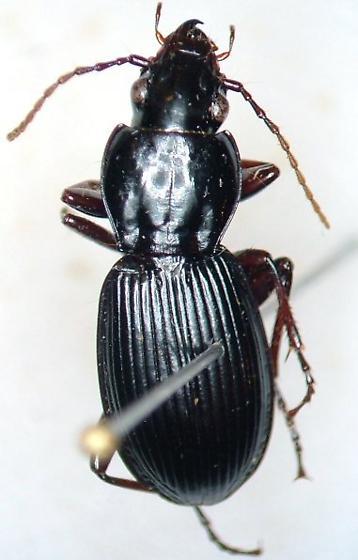 Pterostichus adoxus - female