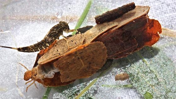 Limnephilidae, genus Pycnopsyche - Pycnopsyche gentilis