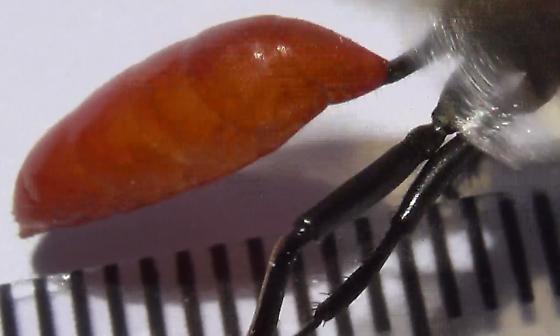 Thread-waisted Wasp Body Scan (lateral abdomen) - Sphex lucae - female