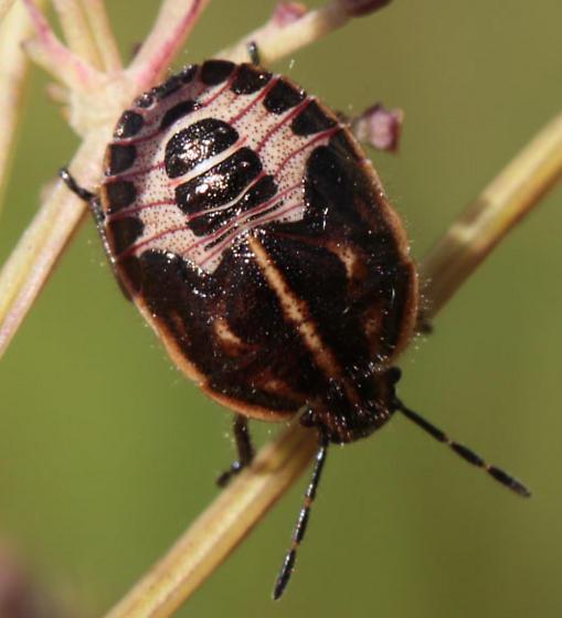Stinkbug Nymph - Trichopepla