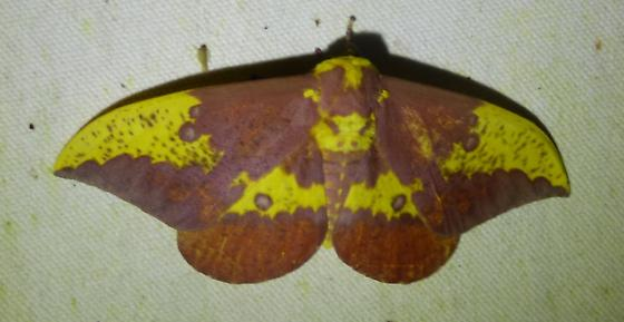 imperial - Eacles imperialis