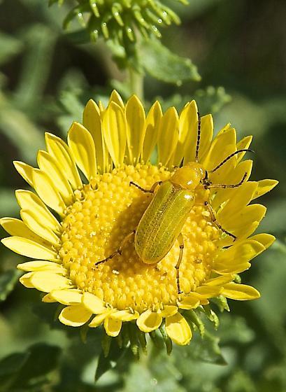 Golden Beetle - Zonitis sayi