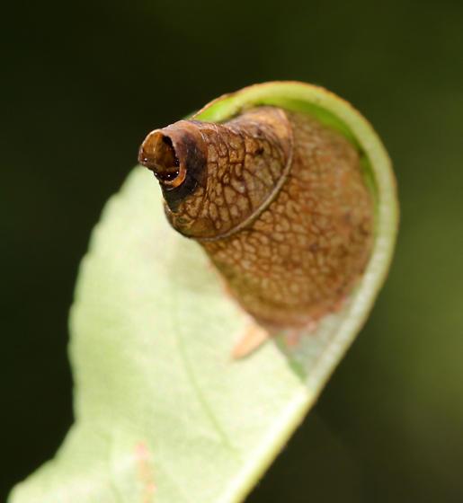 Leaf Cone - Caloptilia sp.?