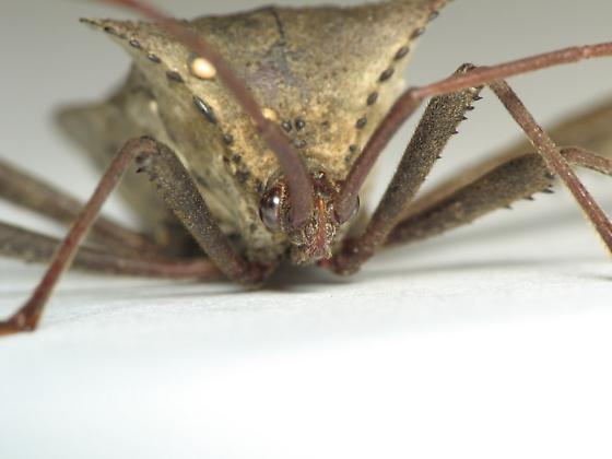 Leaf-footed Bug - Acanthocephala declivis