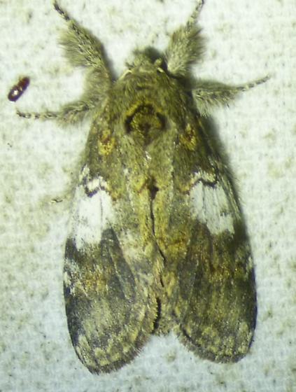 unknown moth - Peridea angulosa