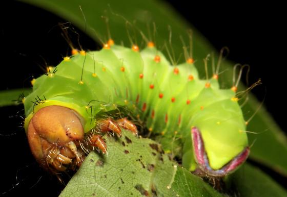 Polyphemus, another larva - Antheraea polyphemus