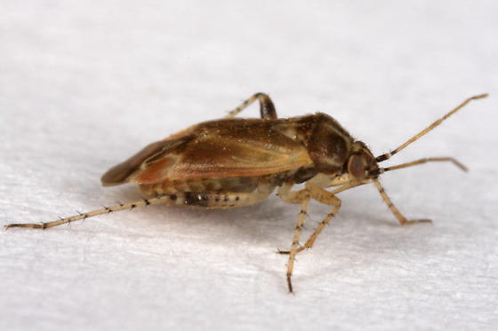 unknown Hemipteran