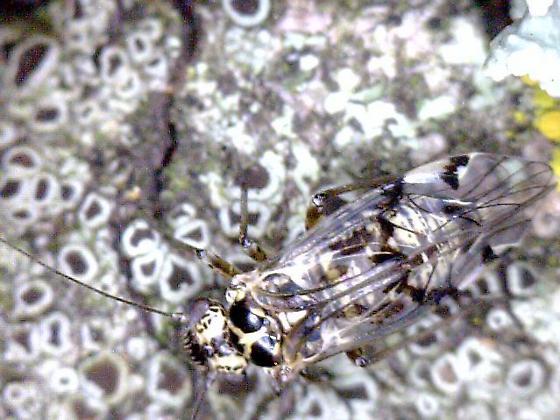 unknown on lichen - Hyalopsocus