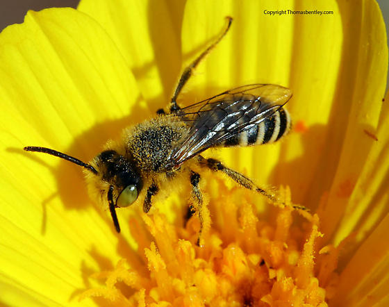 Bee - Hesperapis