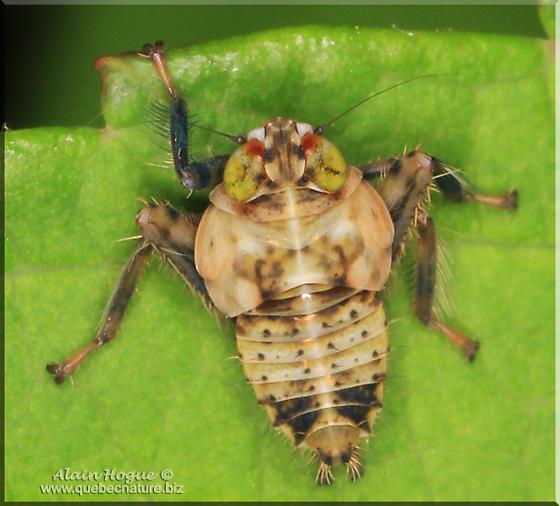 Leafhoppers larva ? - Jikradia olitoria