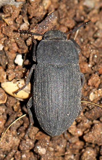 Which Darkling Beetle is this? - Blapstinus