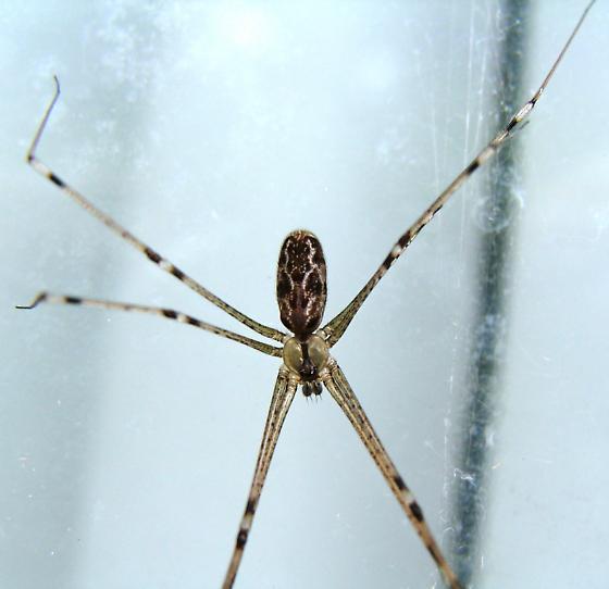 Marbled Cellar Spider - Holocnemus pluchei - male