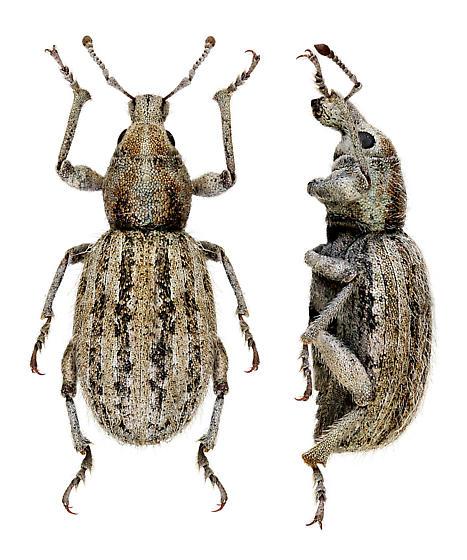 Nevada weevil - Miloderoides