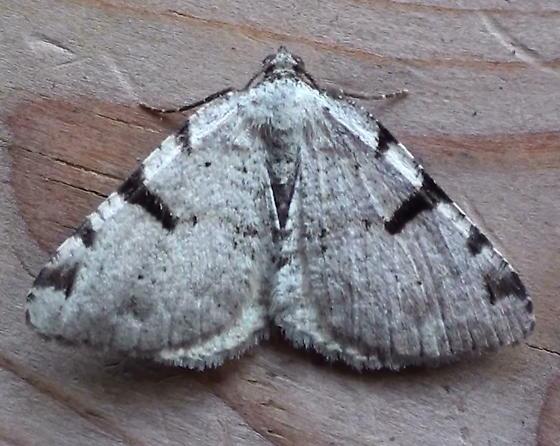 Geometridae: Speranza subcessaria - Macaria subcessaria