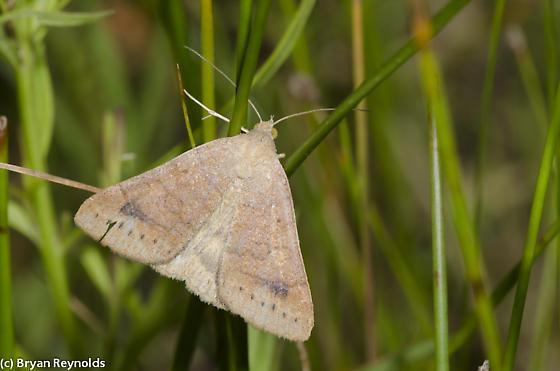 Vetch Looper Moth - Caenurgia chloropha - female