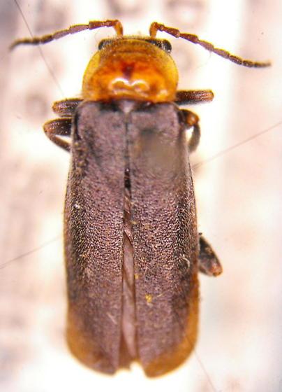 Cantharis alticola (LeConte) - Cantharis alticola