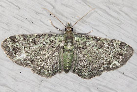 geometridae - Pasiphila rectangulata