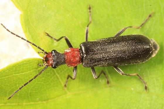 Soldier Beetle - Dichelotarsus punctatus
